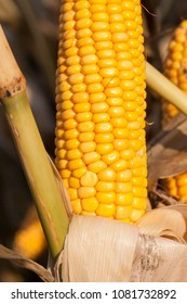 beautiful yellow cob of ripe corn, uncultivated harvest on an agricultural field
