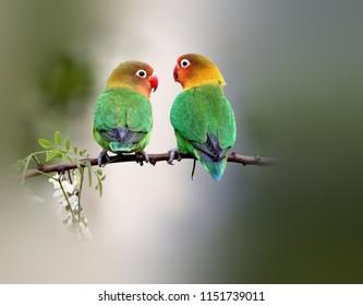 Beautiful Yellow - collared Lovebird