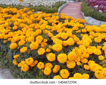 Beautiful Yellow color Marigold natural flowers