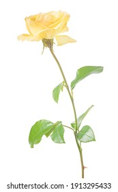 beautiful yellow color rose isolated on white background