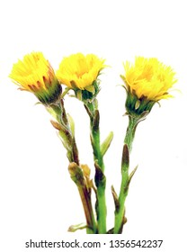 Beautiful yellow coltsfoot flower isolated on white background. Tussilago farfara (Coltsfoot). Coltsfoot isolated on white. Used to treat lung diseases such as asthma, as well as various coughs.