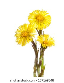 beautiful yellow coltsfoot flower isolated on white background