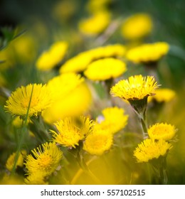Beautiful yellow coltsfoots on a natural background in spring