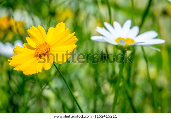 A beautiful yellow Coreopsis flower, with a white and yellow daisy in the background just out of focus, with a shallow depth of field and blurred green foliage background.