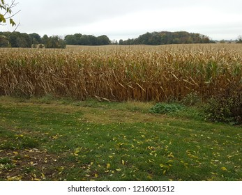 Beautiful yellow cornfield with a forest in the background.