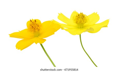 beautiful yellow cosmos Flowers isolated on white background