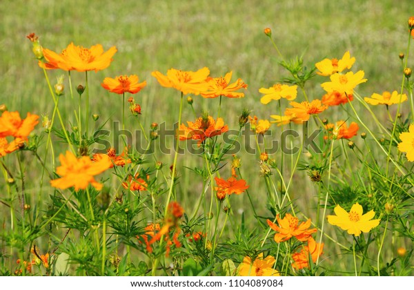 Beautiful yellow cosmos in the grass field field in the evening.
