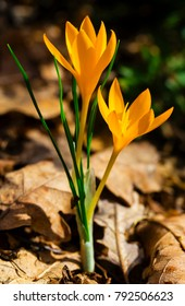 Beautiful yellow crocus closeup