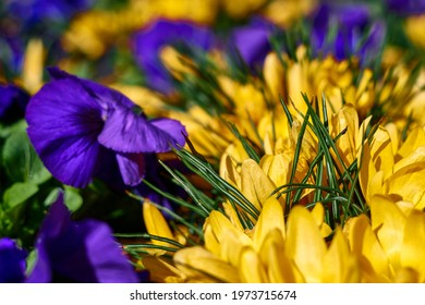 beautiful yellow crocus and purple pansies in blooming. High quality photo - Shutterstock ID 1973715674