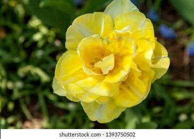 Beautiful yellow daffodil flower in closeup
