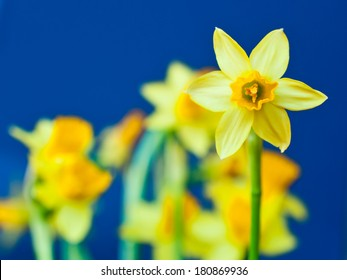 Beautiful yellow daffodil (Narcissus) against blue background