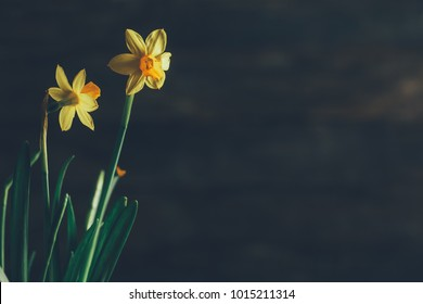 Beautiful Yellow Daffodils on Wooden Background