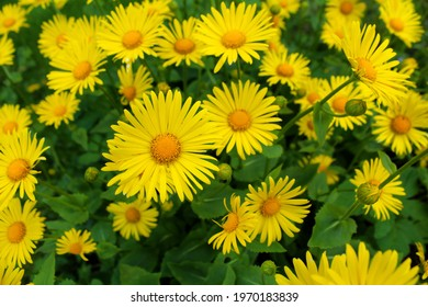 Beautiful yellow daisies as a background image.