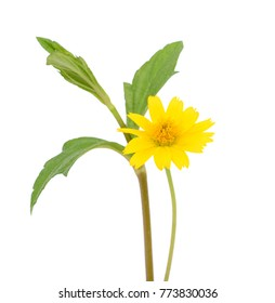 beautiful yellow daisies flower isolated on white background