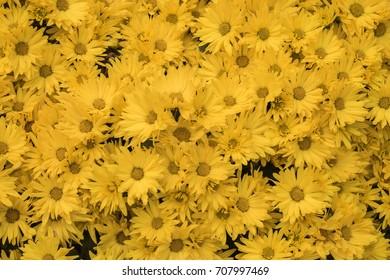 Beautiful yellow Daisy flowers background.