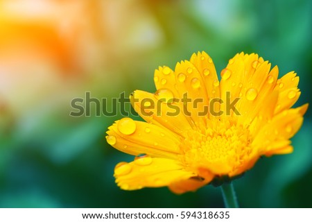 beautiful yellow daisy in the morning dew. Shallow depth of field