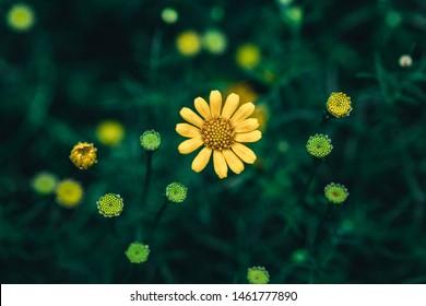 Beautiful yellow daisy in tropical garden
