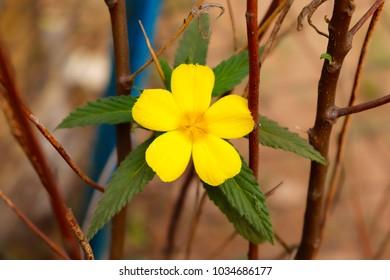 beautiful yellow damiana flower