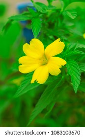 a beautiful yellow damiana flower