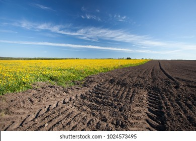 Beautiful yellow dandelion field next to plowed farmland in countryside on a sunny spring day, Latvia