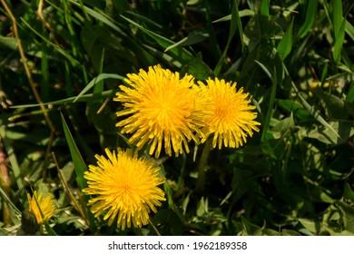 Beautiful yellow dandelion flowers grow in the field, nature, landscape. - Shutterstock ID 1962189358