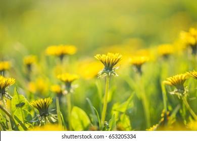 Beautiful yellow dandelions blooming in springtime. Wild flowers macro.