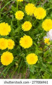 Beautiful yellow dandelions flowers close up. Springtime flowers in nature.