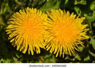 Beautiful yellow dandelions in a green flowerbed