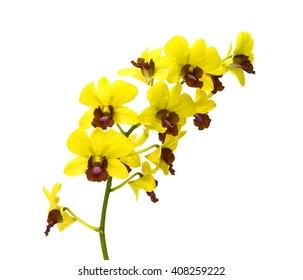 beautiful yellow dendrobium orchid flowers isolated on white background
