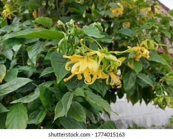 Beautiful yellow dwarf lang-lang blooming on the tree in the garden.