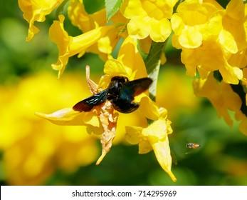 Beautiful Yellow elder, Trumpetbush,  with bumble bee.
