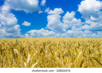 Beautiful yellow field of wheat and blue cloudy sky reminiscent of the flag of Ukraine
