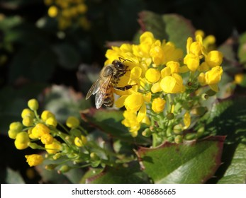 Beautiful yellow flower with bee, Mahonia