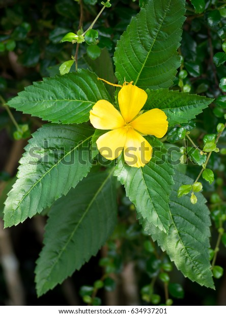 Beautiful yellow flower. Close up of blooming yellow flower with fresh green leaves in the forest on morning sunny day, Wild flowers in Thailand. - Background flower.