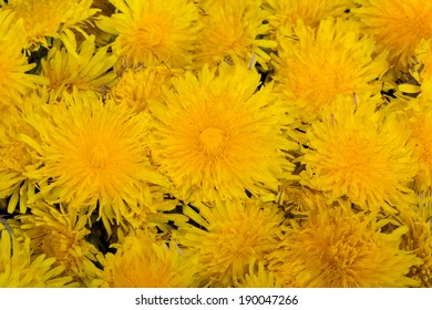 beautiful yellow flower of Dandelion