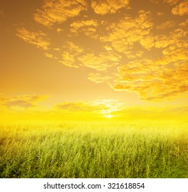 Beautiful Yellow Flower fields and Sunset for background