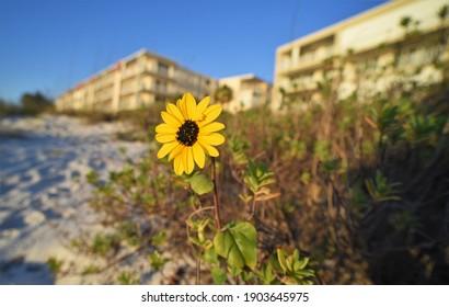 In Clearwater Florida wächst eine schöne gelbe Blume, die die Zerstörung der Umwelt darstellt