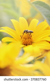 Beautiful yellow flower Heliopsis many years, the family Asteraceae