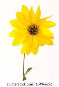 Beautiful yellow flower isolated on a white background. Gerbera a wild ornamental plant that is family of the sunflower