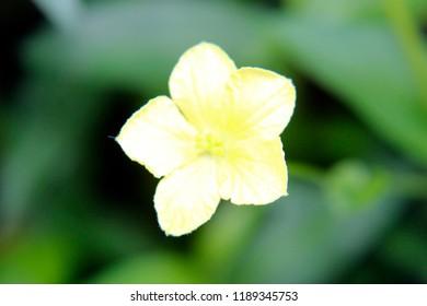 Beautiful yellow flower of Momordica charantia often called balsam apple, balsam pear, bitter balsam apple, bitter cucumber, bitter melon, carilla gourd, paria, wild balsam-apple, achochilla, archicha