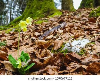 Beautiful yellow flower near saut du doubs waterfall in the region of doubs switzerland