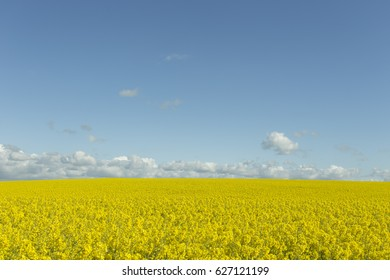 Beautiful yellow flowering rape field in Normandy, France. Country agricultural landscape on a sunny spring day. Environment friendly farming and industrial agriculture concept