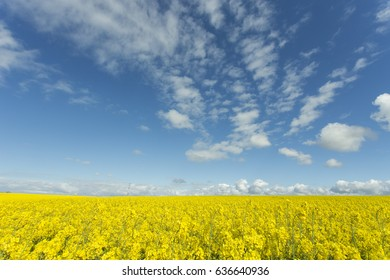 Beautiful yellow flowering rapeseed field in Normandy, France. Country agricultural landscape on a sunny spring day. Environment friendly farming and industrial agriculture concept