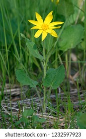 Beautiful yellow flowering wildflower, forb or herb in full bloom, wild flower closeup macro photo outdoors in meadow, Heartleaf arnica (Arnica cordifolia), Wallowa-Whitman National Forest, Oregon