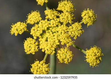 Beautiful yellow flowering wildflower, forb or herb in full bloom, wild flower closeup macro photo outdoors in meadow, Gray's lomatium/biscuitroot, Turnbull National Wildlife Refuge, Washington, USA