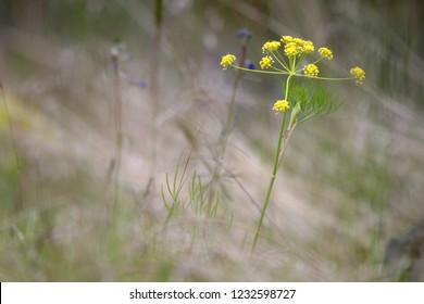 Beautiful yellow flowering wildflower, forb or herb in full bloom, wild flower closeup macro photo outdoors in meadow, Gray's lomatium/biscuit root, Turnbull National Wildlife Refuge, Washington, USA