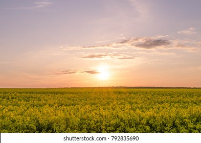 With beautiful yellow flowers blooming rapeseed field