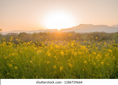 Beautiful Yellow flowers blossoming in  sunrise,Nanohana flowers in Japan.