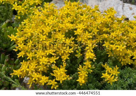 Beautiful yellow flowers bush stock photo edit now 446474551 beautiful yellow flowers bush mightylinksfo