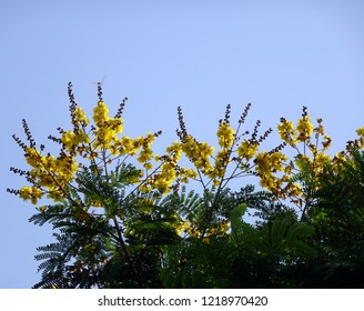 Beautiful yellow flowers of copperpod, yellow-flamboyant, yellow flametree, copy space for text space